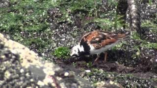Steenloper  Arenaria interpres Gedeeld videobestanden van Schie15.