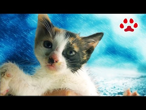雨の日、溺れていた子猫を保護した【瀬戸のみけ日記】I rescued the kitten which was drowning in the puddle and named her Mi-ke.