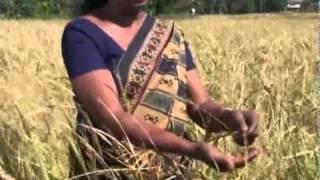 Weeding out weedy rice in Sri Lanka