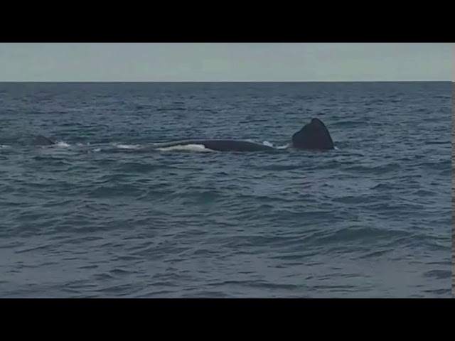 Southern Right Whales, Puerto Madryn.