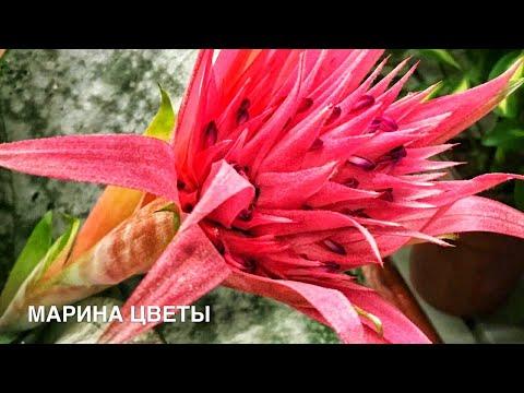 Как цветет эхмея