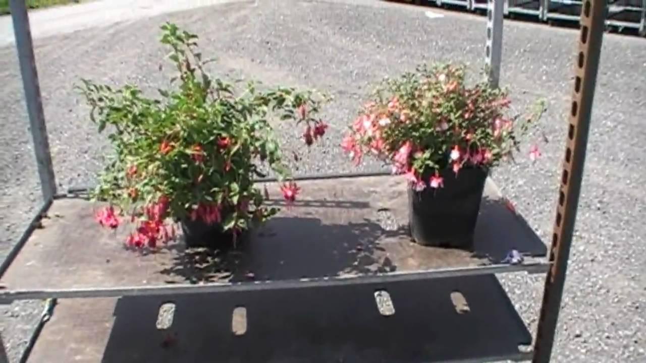 Geliebte Winterharte Freilandfuchsien - die kompakten Sorten - YouTube #ZN_39