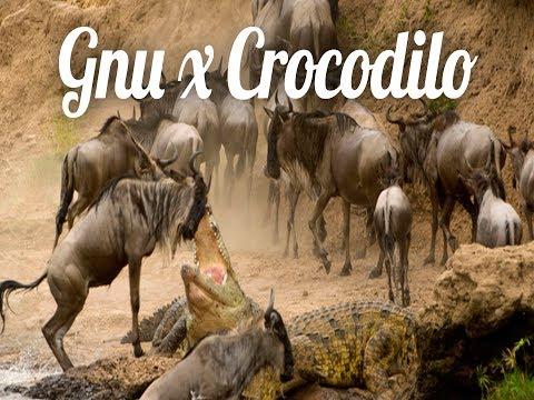 Planeta Animal: Gnu luta para escapar de ataque de crocodilo / Gnu struggle to escape from crocodile