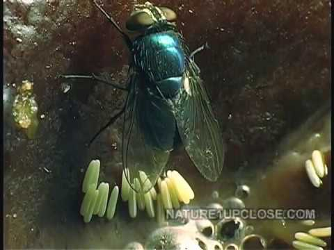 life-cycle-of-the-fly,-flies-laying-egg,-eggs-hatching