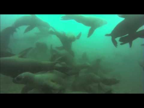 Diving with sea lions in Peru Sept 2013