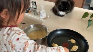 まるで師匠のように娘が作るパンケーキを観察する猫 ラガマフィン Cat observing my daughter making pancakes