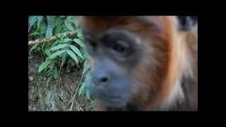 Singe hurleur de Bolivie / Bolivian red howler monkey