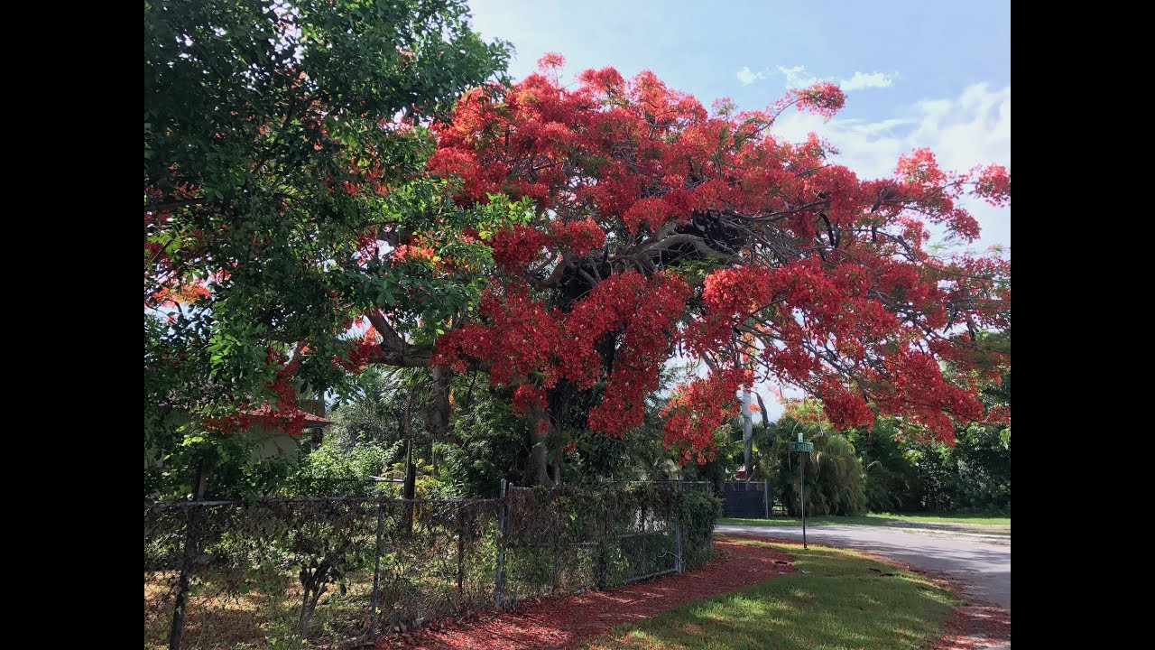 Royal Poinciana Tree Choosing The