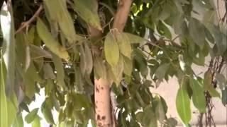فاكهة الصحراء شجره الزام زام في الجزيره العربيه