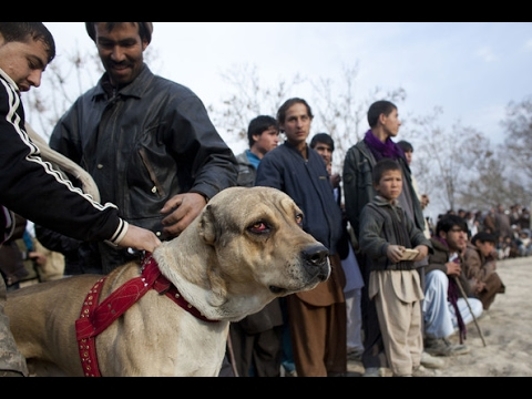 Gambling on dog fight in Gujrat | 24 News HD
