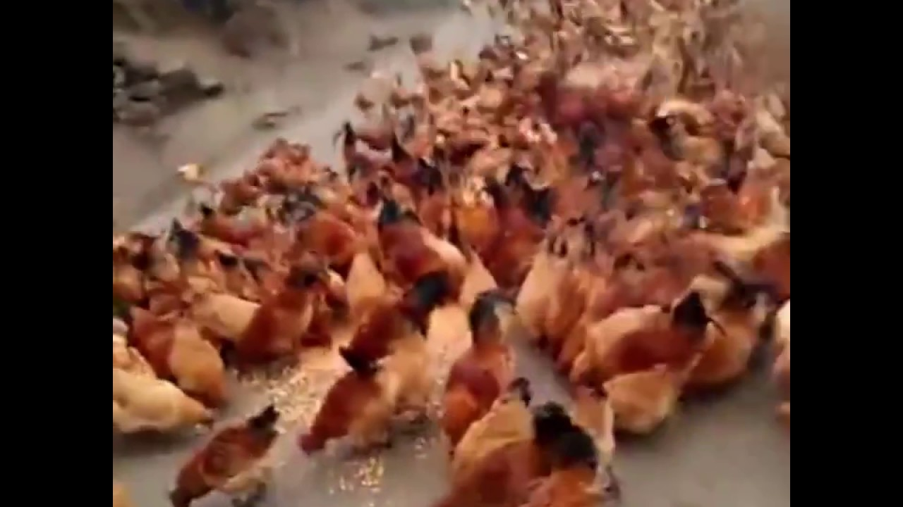 Swarm Of Chickens Fly In For Food ATTACK! - YouTube