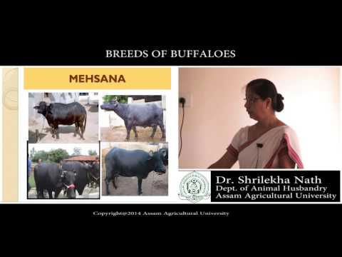 breeds of buffaloes