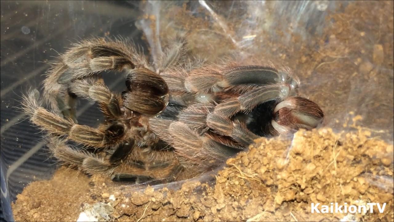 Rose Hair Tarantula Shedding