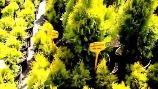 Декоративные растения. Садовый центр Вырастим вместе, Минск 01.06.2016(Этот ролик обработан в Видеоредакторе YouTube (http://www.youtube.com/editor), 2016-06-03T05:47:45.000Z)