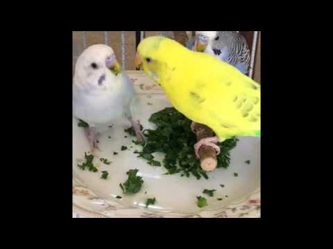 Birds Food - Short Film of Parakeets ~ My Birds Plate With Healthy Diet ~ By Shama