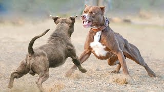 American Bully VS Pitbull Real Fight  Pitbull VS American Bully  Blondi Foks