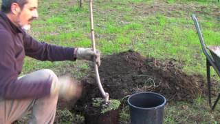 Come piantare una pianta di percoco