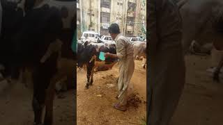 Ahmed Raza Qadri  cow 2018 (14,Aug,2018)