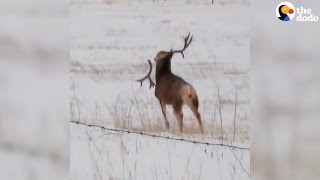 Buck Sheds Antlers Like NBD   The Dodo