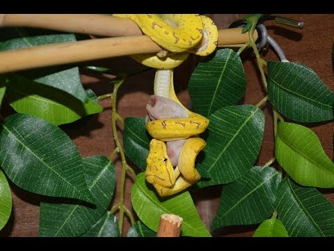 Sorong Green Tree Python Eating - Quick Video