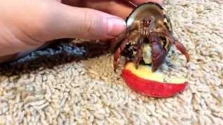 Adorable Hermit Crabs Eating Apple! (AMAZING!!!)