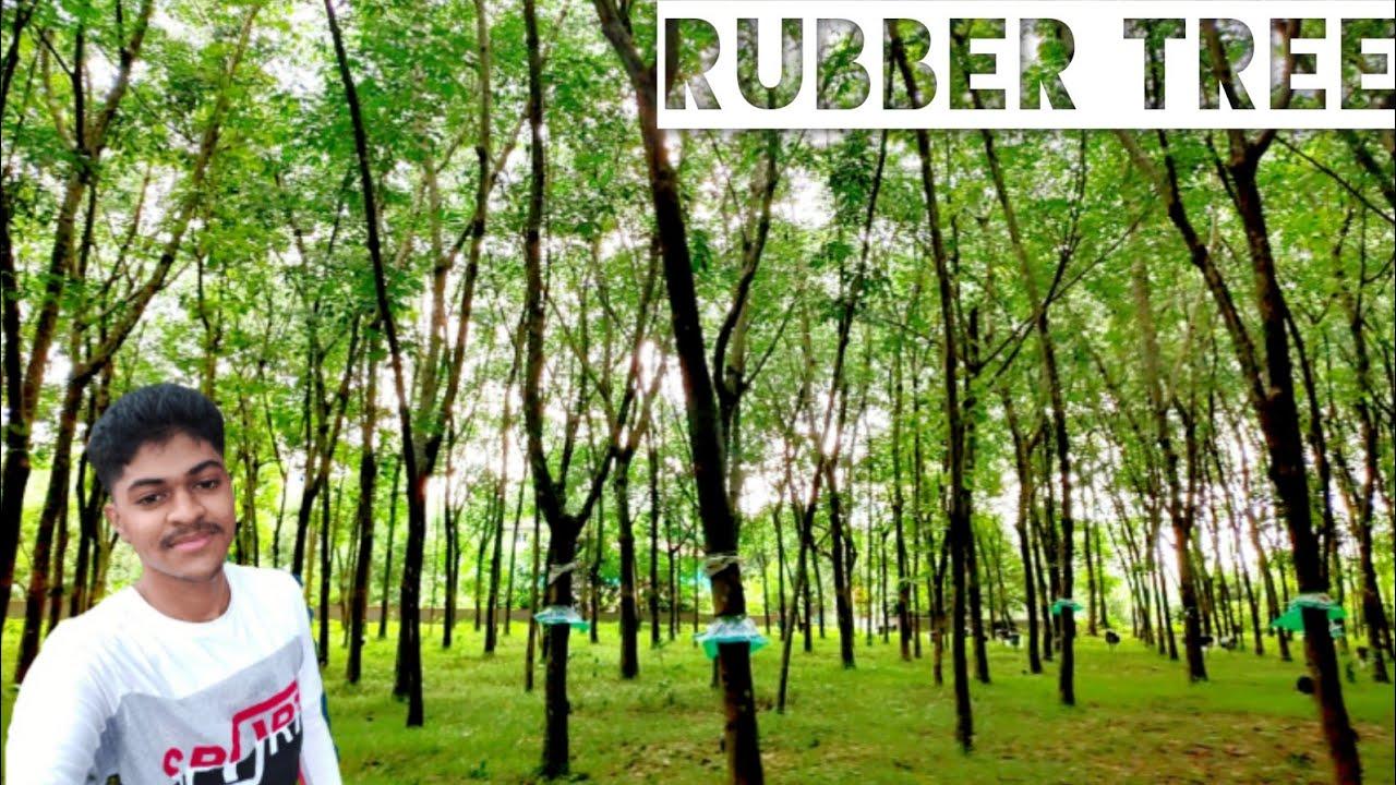 RUBBER TREE FARMING   tamil vlog   Enjoy the nature ...