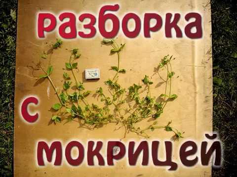 Как избавиться от травы мокрицы в теплице