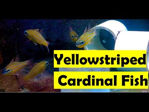 🐟 How To Care For Yellowstriped Cardinalfish (Ostorhinchus Cyanosoma)