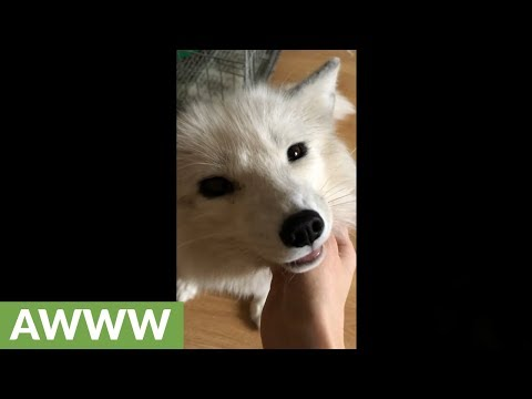 Excited Fox Makes Adorable Sounds When Pet