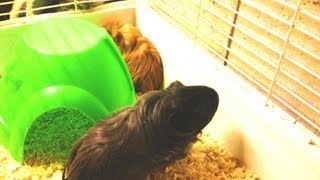 10 Minutes Of Guinea Pigs Eating
