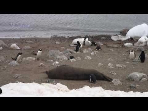 Neko Harbour, Gentoo Penguins & Swimming in Antarctica (well, a Plunge)
