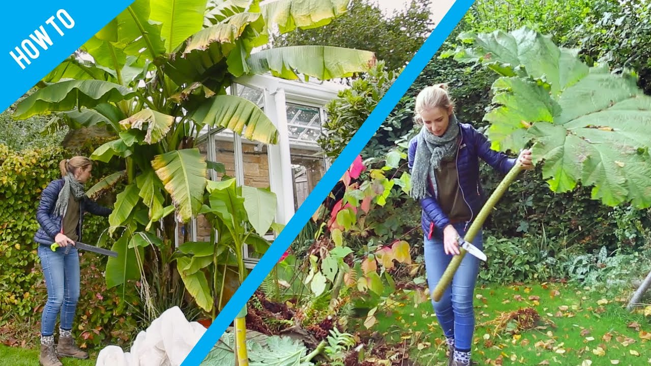 How to protect Banana and Gunnera plants in winter YouTube