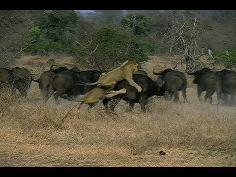 3 Male African Lions attack Male Buffalo Herd: The Wild Life by the Sharpys, Africa 4