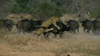 3 male african lions attack male buffalo herd the wild life by the sharpys africa 4