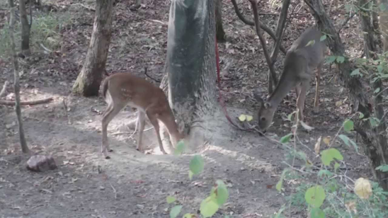 how to put out rice bran for deer
