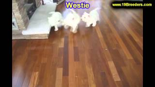 West Highland Terrier, Puppies, For, Sale, In, Washington Dc, Fort Totten, Mclean Gardens, Wesley He