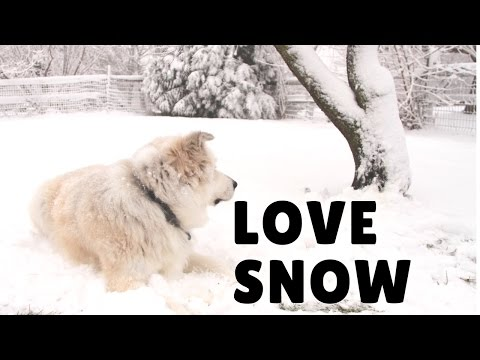 Dogs in snow, Mini dachshund and Great Pyrenees