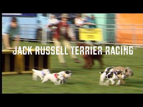 Jack Russell Terrier Racing