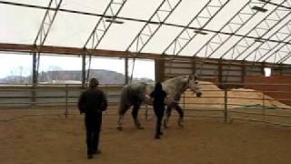Dapple Gray Percheron:  Oberon in Training II