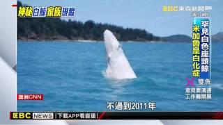 難得一見巨獸!全白座頭鯨「米加魯」現身澳洲