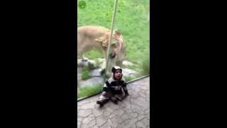 Lion at the Portland zoo goes crazy trying to eat zebra kid