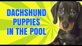 Dachshund Puppies: Trying To Teach Our New Dachshund Puppies How To Get Out Of The Pool.