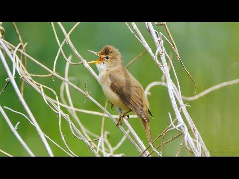 Marsh Warbler (Acrocephalus palustris) / Sumpfrohrsänger