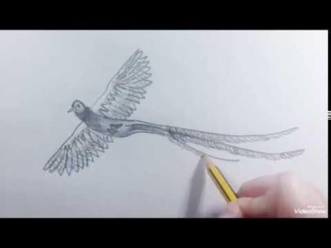 How to draw a Bird Quetzal (speed) - Como dibujar un Ave Quetzal (rápido)