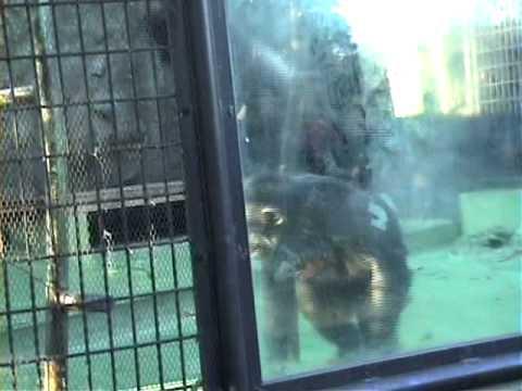 チンパンジーの異常行動/動物園
