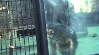 チンパンジーの異常行動/動物園 Zoo Check KIDS ALIVE http://www.aliv...