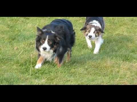 Sneaky border collies