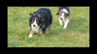 What do five Border Collies get up to when they're not working shee...