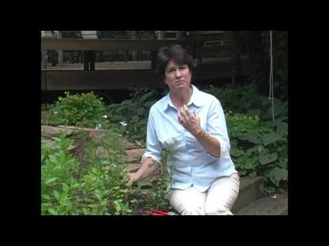 Cilantro & Coriander: Growing and Harvesting - Millcreek Herbs