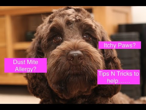 How to help Dogs with Dust Mite Allergies